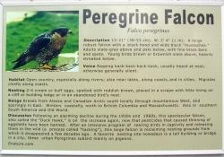 peregrinefalcon
